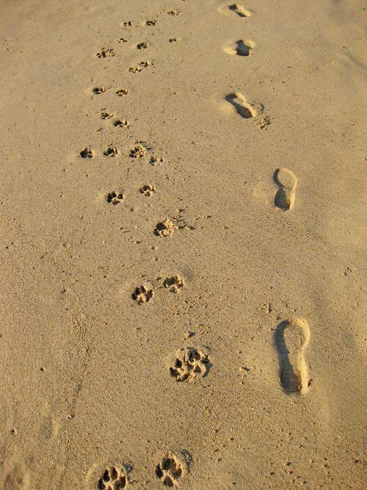 Dog prints on the sand
