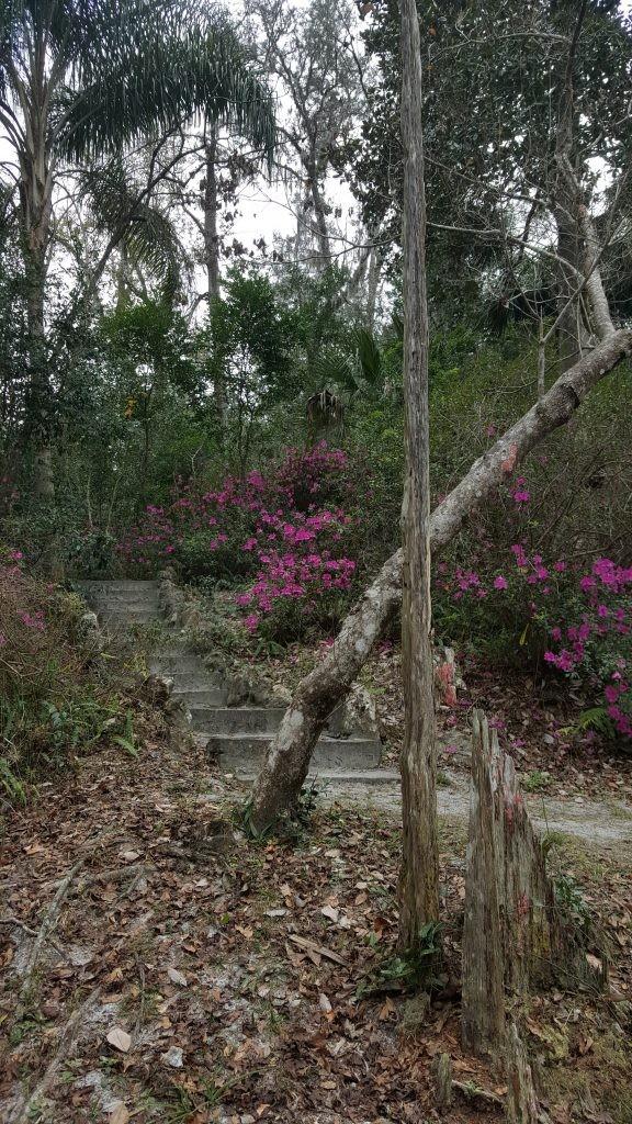 Ravine Gardens azaleas