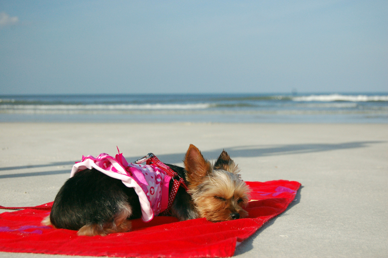 Dog sleeping on beach in St. Augustine, FL